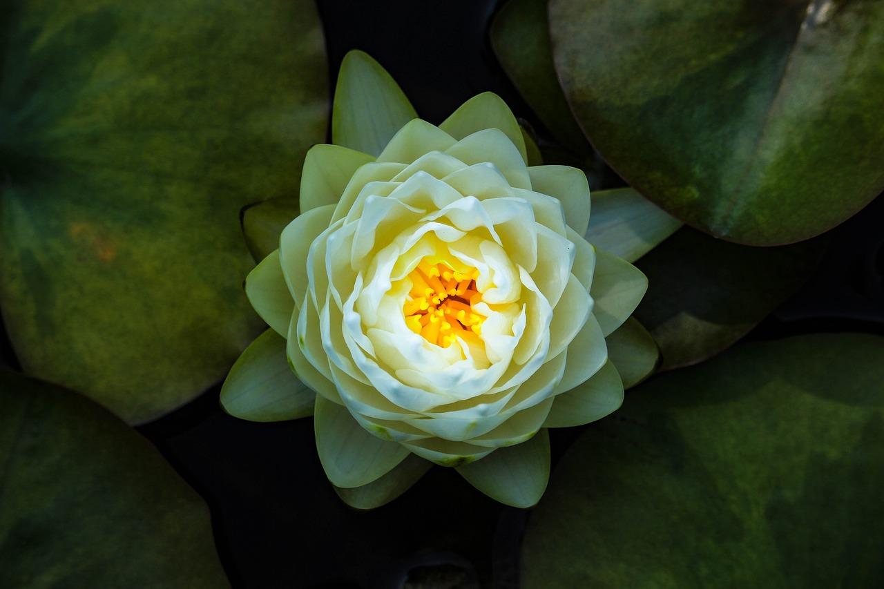 Flor de loto (Nelumbo nucifera) – Características y distribución