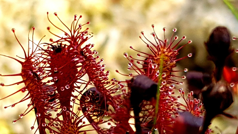 Tipos de plantas carnívoras