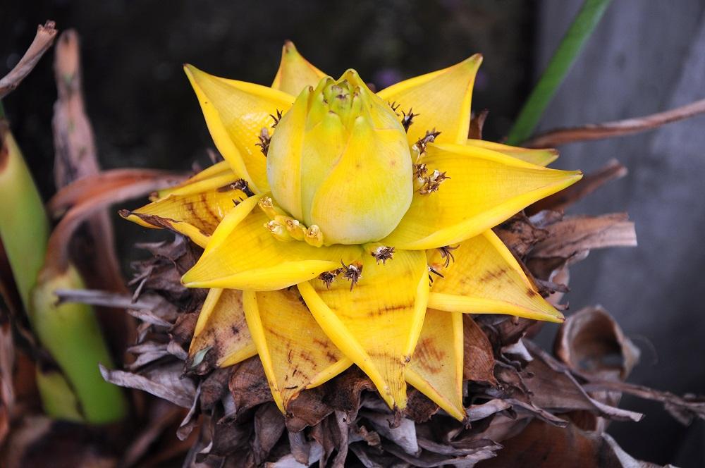 Plátano enano chino (Musella lasiocarpa) – Hábitat y cuidados