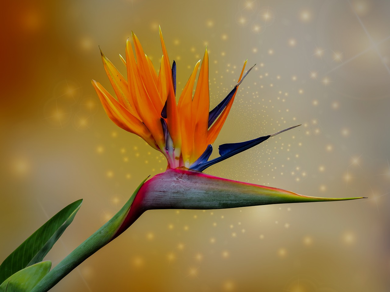 Ave del paraíso (Strelitzia reginae) – Características y cuidados