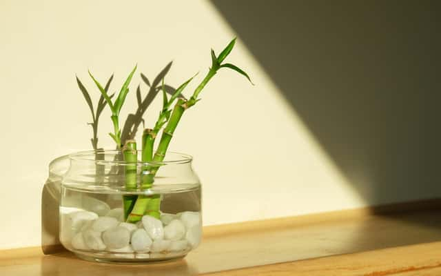 ¿Cómo cuidar bambú en agua?