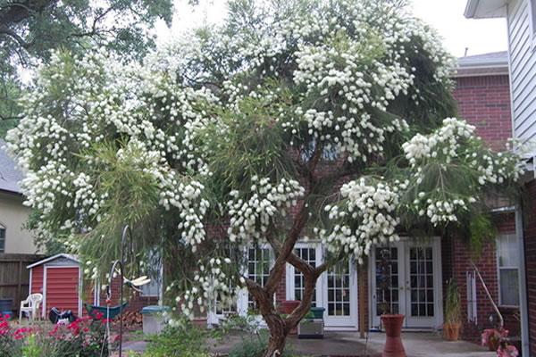 Árbol del té (Melaleuca alternifolia) – Planta, aceite y más