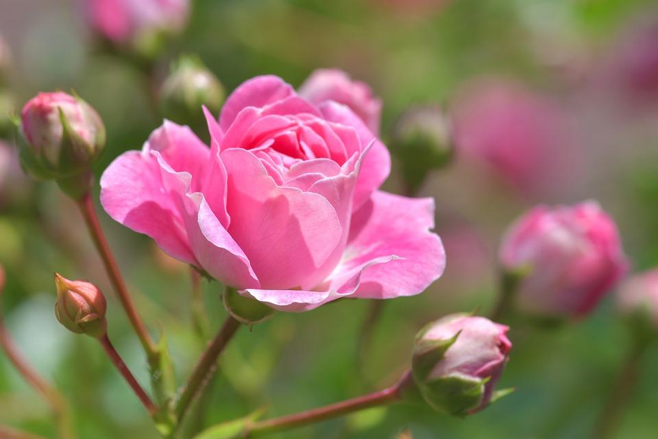 ¿Cómo plantar esquejes de rosal?