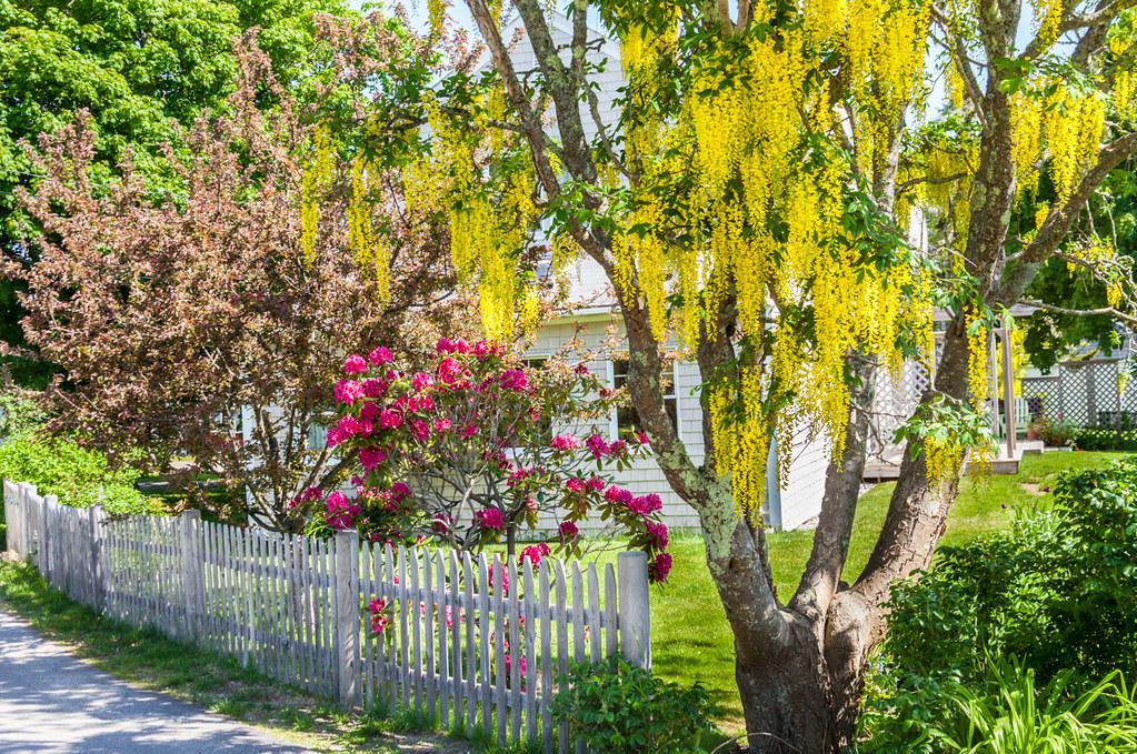 ¿Cómo reproducir el árbol lluvia de oro?