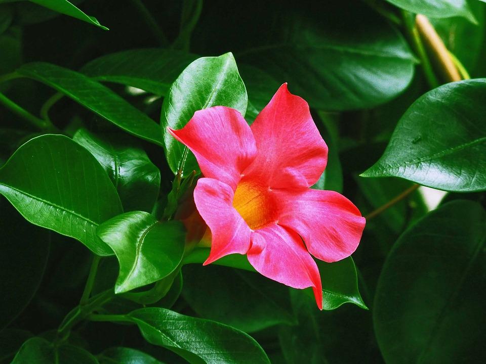 Dipladenia (Mandevilla) – Características y cuidados
