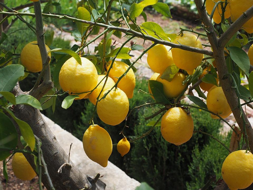 ¿Por qué mi limonero no da limones?