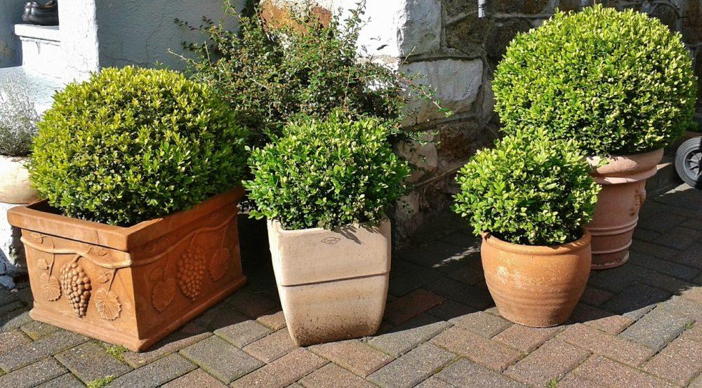 boj-plantas-para-terrazas