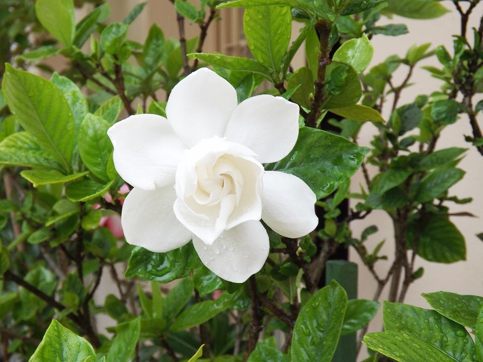 gardenia-plantas-para-terrazas