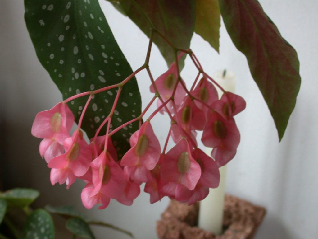 begonia maculata, begonia maculata flor, begonia maculata interior