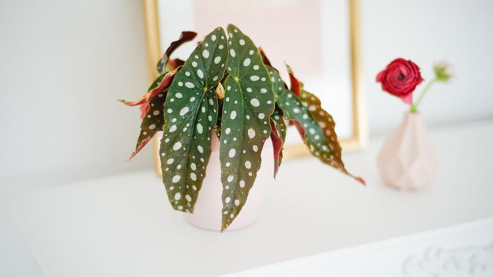 Begonia maculata – Cuidados, Reproducción y Enfermedades