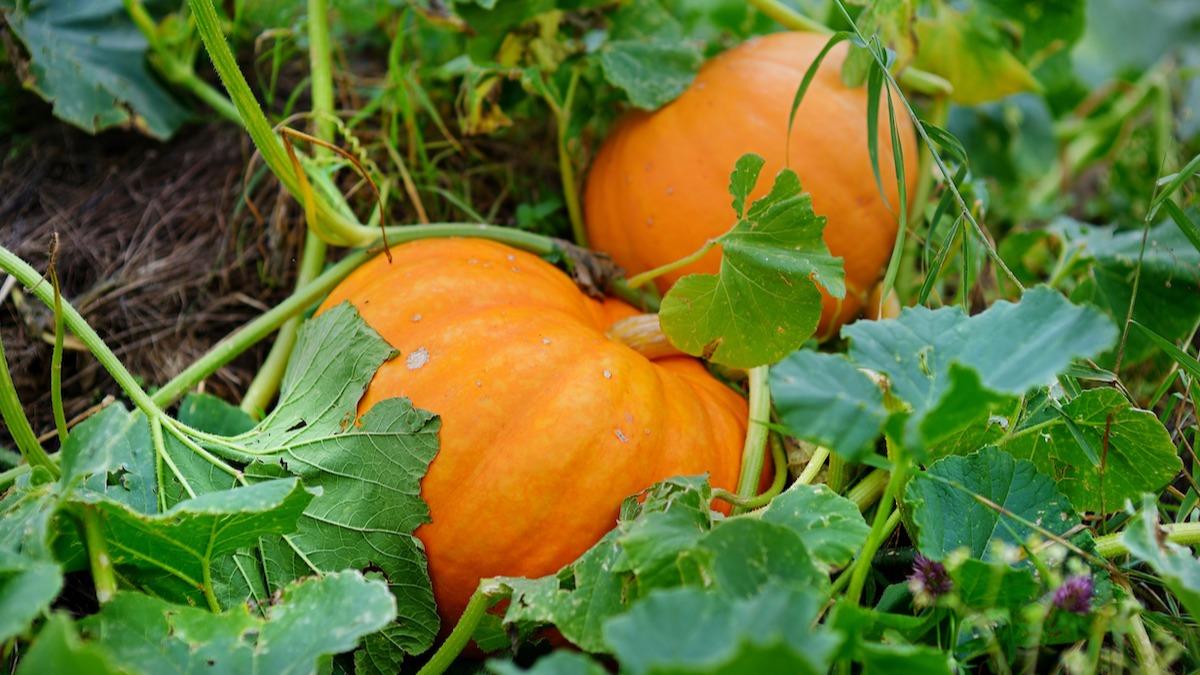 Cultivo de la calabaza – Siembra, trasplante y cosecha