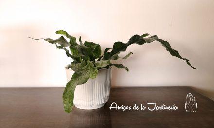 Helecho canguro (Microsorum diversifolium) – Cuidados y Propagación