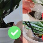 Cómo regar orquídeas Phalaenopsis