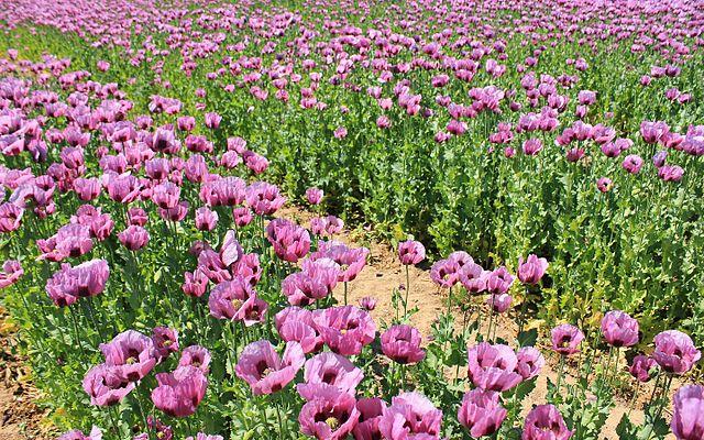 Adormidera-plantas-con-flores-rosas-silvestres