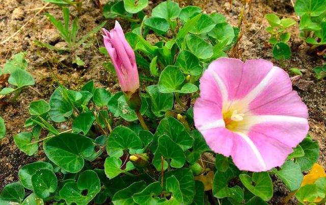 Calystegia-soldanella-plantas-silvestres-flores-rosas