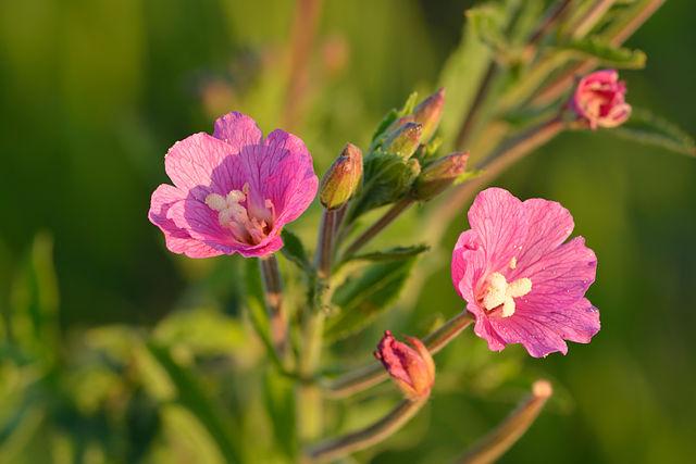 Epilobium-irsutum-planta-silvestre-flor-rosa
