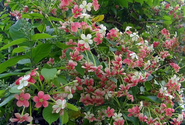Quisqualis-planta-trepadora-flor-rosa