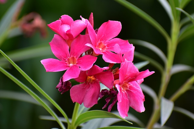 Rosa-desierto-Adenium-obesum-crasa
