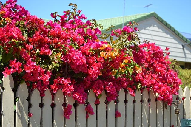 buganvilla-bougainvillea-plantas-trepadoras-exterior-flores-rosas