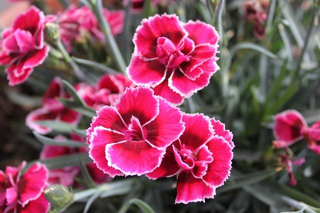 clavel-clavelina-planta-flores-rosas