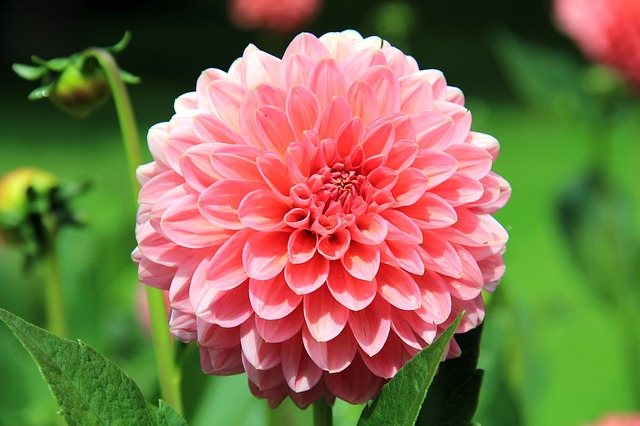 dalia-dalhia-plantas-flores-rosas-exterior