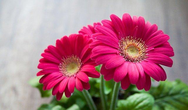 gerbera-exterior-plantas-con-flores-rosas