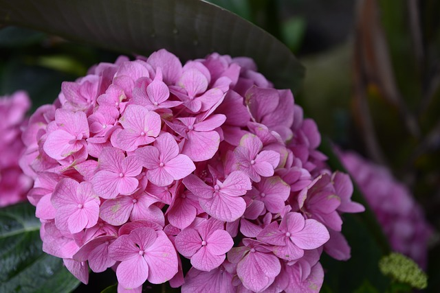 hortensia-plantas-flores-rosas