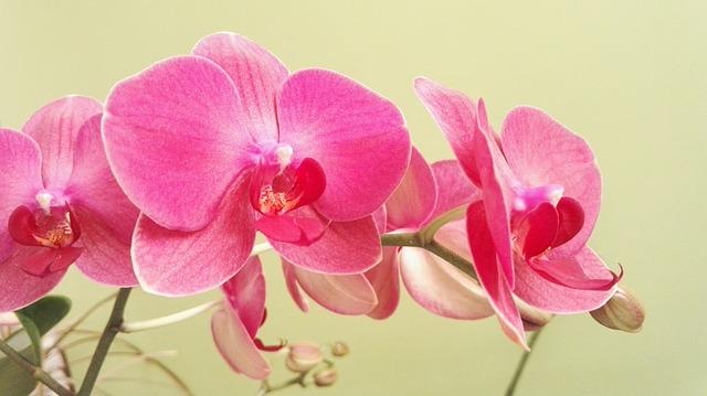 orquidea-rosa-plantas-interior-flores-rosas