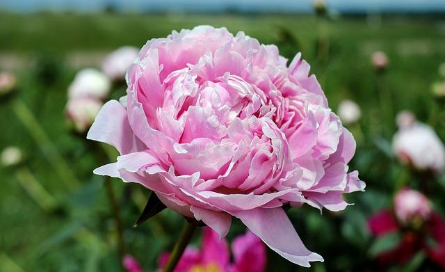 peonia-plantas-flores-rosas