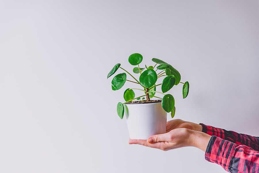 Planta del dinero China (Pilea peperomioides) – Cuidados