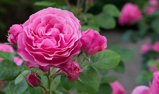 rosa-plantas-jardin-flores-rosas
