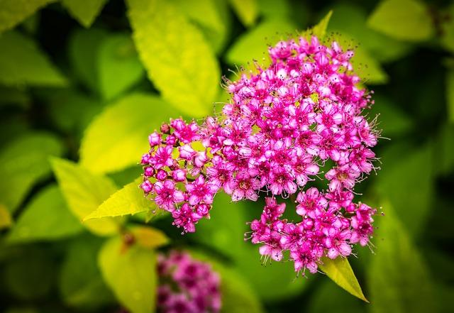 spiraea-japonica-arbusto-plantas-flores-rosas