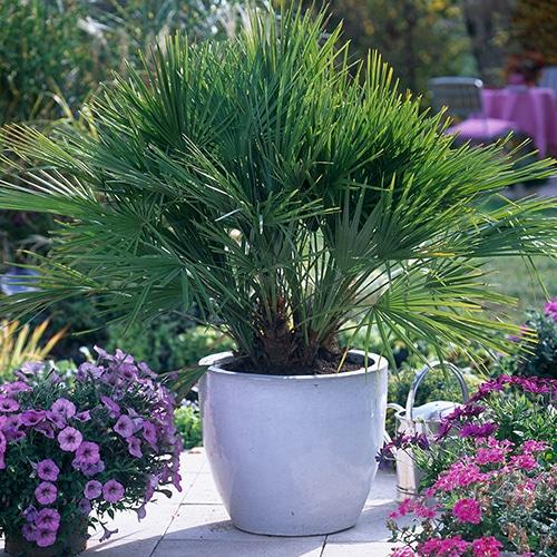 palmito-palmera-plantas-para-terrazas