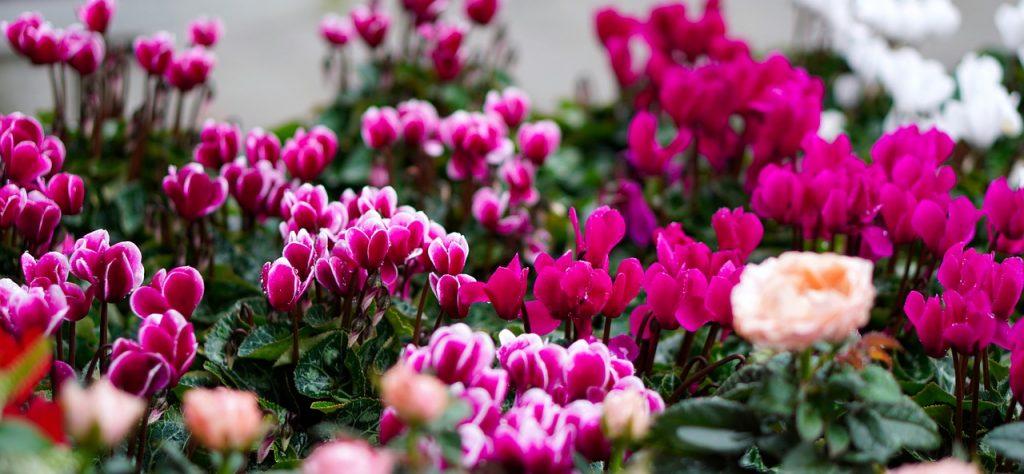 ciclamen-plantas-para-terrazas