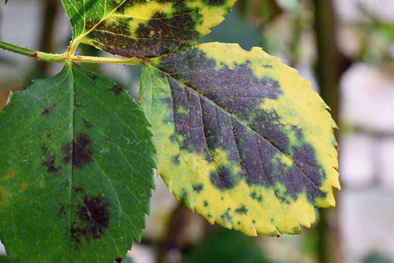 enfermedades-de-los-rosales-hongo