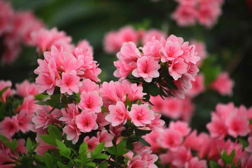 azalea-plantas-para-terrazas