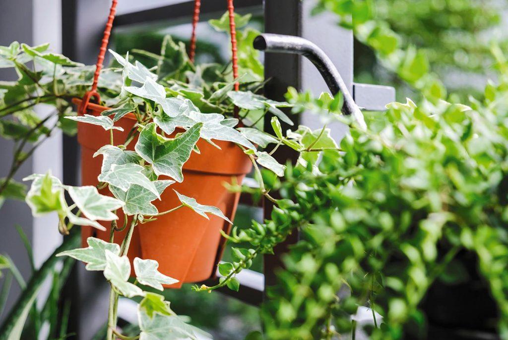 hiedra-plantas-para-terrazas