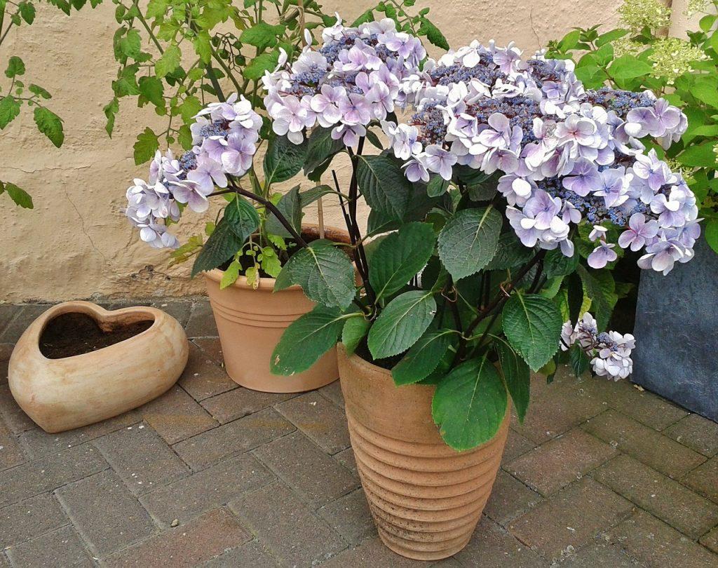 hortensia-plantas-para-terrazas