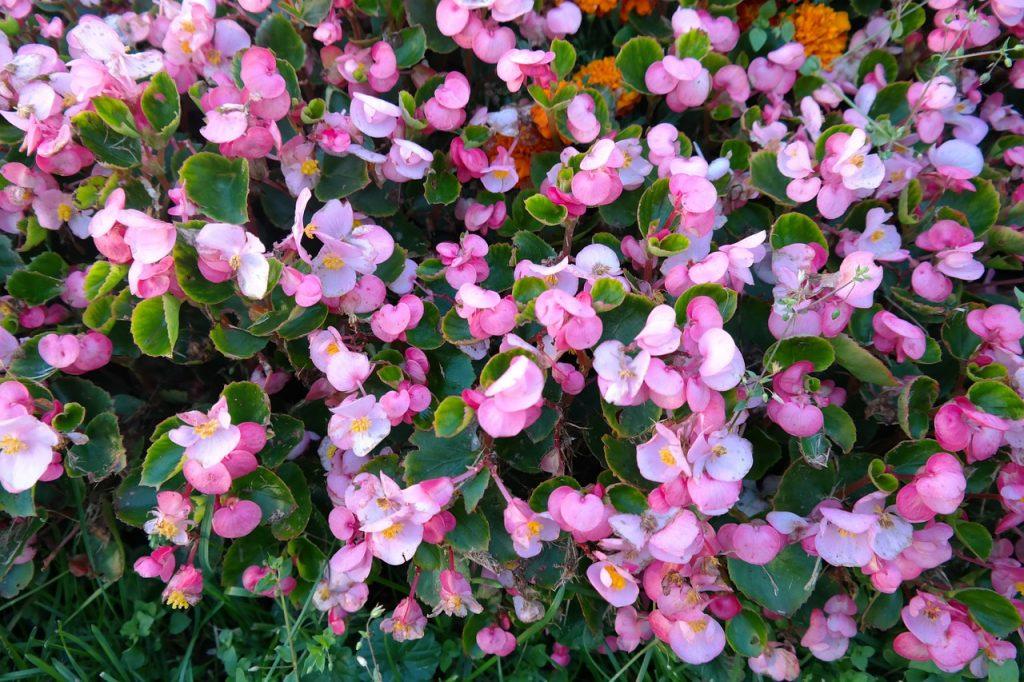 begonia-plantas-para-terrazas