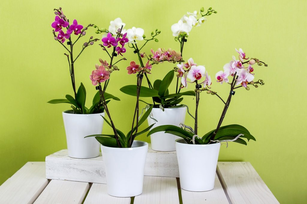orquideas-phalaenopsis-orquidea-mariposa