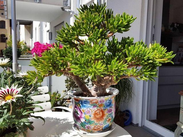 arbol-de-jade-plantas-para-terrazas