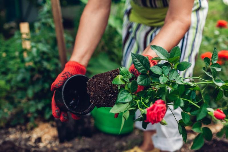 trasplantar-rosal-maceta-sustrato-jardin