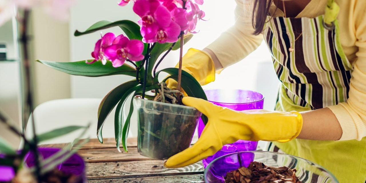 Sustrato para orquídeas – ¿cuál es el mejor y cómo hacerlo?